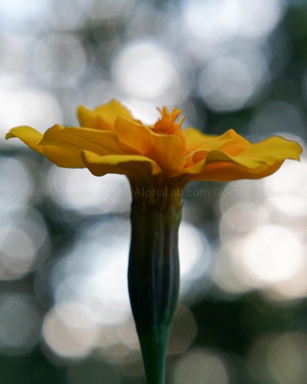 Yellow Flower - Nex-C3, 18-55mm lens @ 55mm, f/7, 1/100sec, ISO 500