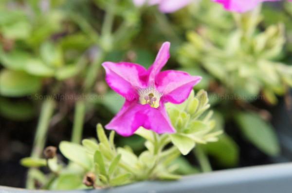 Purple Flower - Nex-C3, 18-55mm lens @ 55mm, f/7.1, 1/60sec, ISO 1600