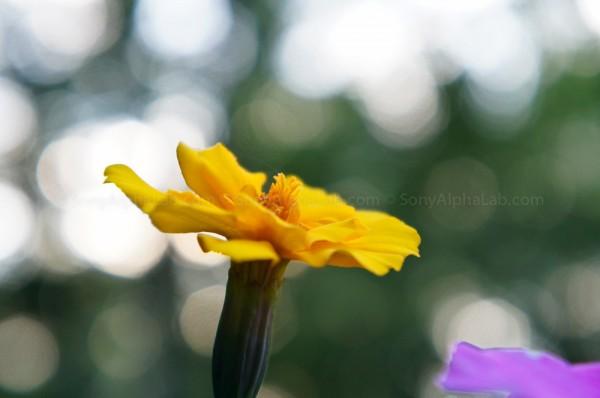 Flower - Sony Nex-C3, 18-55mm Lens @ f/5.6, 55mm, 1/100sec, ISO 640