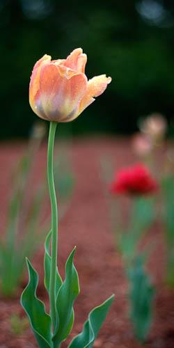 Tulip @ f/1.8